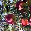 La ediţia de anul acesta vor participa peste 20 de producători de mere din bazinul pomicol Fălticeni, cu o ofertă extrem de variată de mere