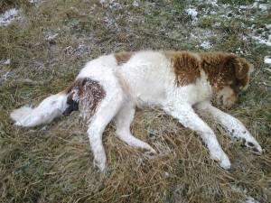 Mai mulţi câini maidanezi au fost ucişi prin împuşcare în oraşul staţiune de interes naţional Vatra Dornei