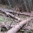 Arbori culcaţi la pământ intenţionat