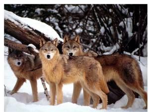 """""""Haite de lupi"""""""