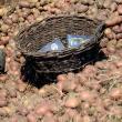 Cartofi furaţi direct de pe ogor, peste noapte